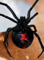 black_widow_spider760